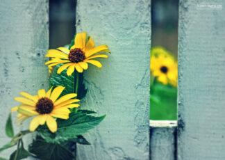 brown eyed susans peeking through a picket fence