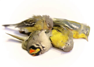 four dead warblers collected during a bird patrol