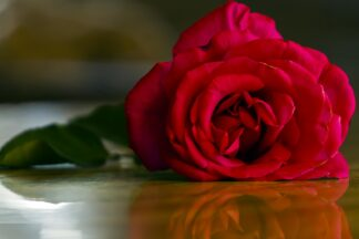 long stemmed red rose lying on a table