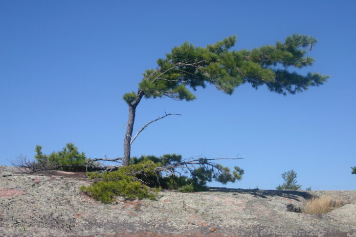 A stunted pine tree bent by the wind