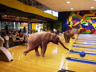 An elephant releases a ball on a bowling alley -- no kidding