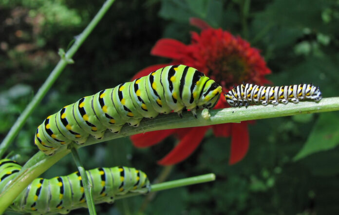 A pair of larger swallowtail butterfly caterpillars with a smaller one