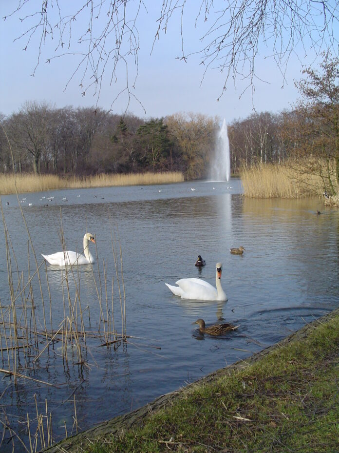 pond with ducks, swans and a fountain in Copenhagen