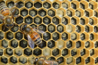 Closeup of two bees on a hexagonal network of beehive cells containing pupae
