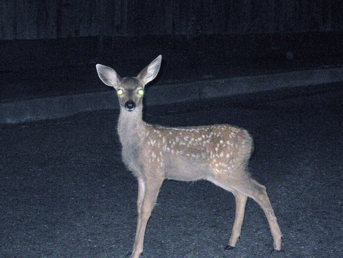 night shot of deer, with eyes illuminated by headlights