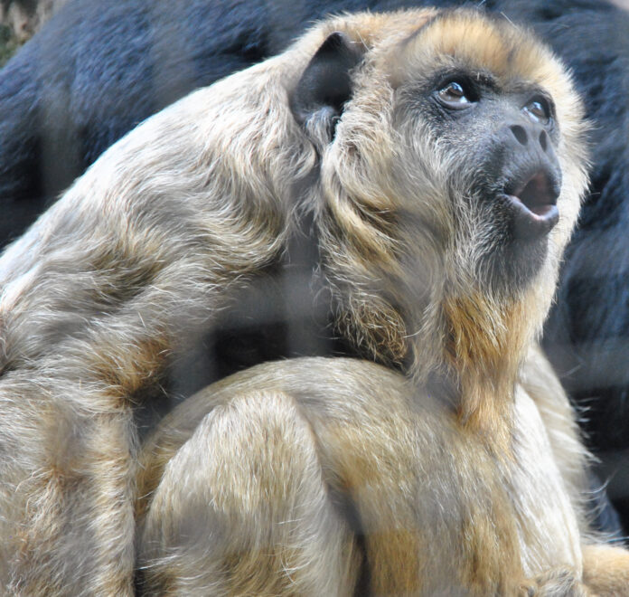 photograph of a furry howler monkey in mid-howl