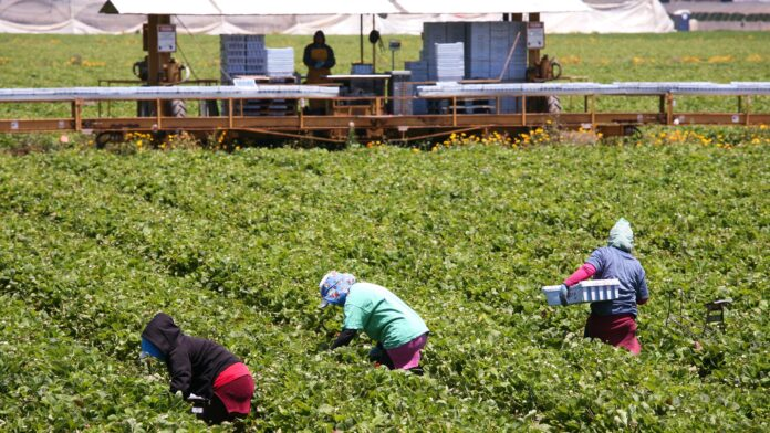 farm workers pick unknown product from between rows of green