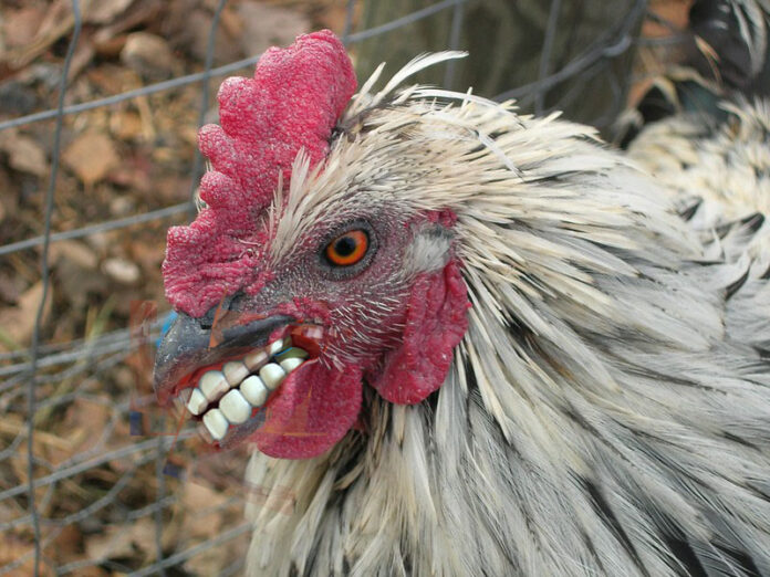 A hen with a fine set of teeth (thanks to photoshop)
