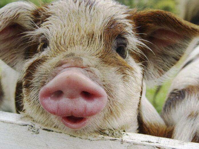 closeup face of a pig with white facial hair