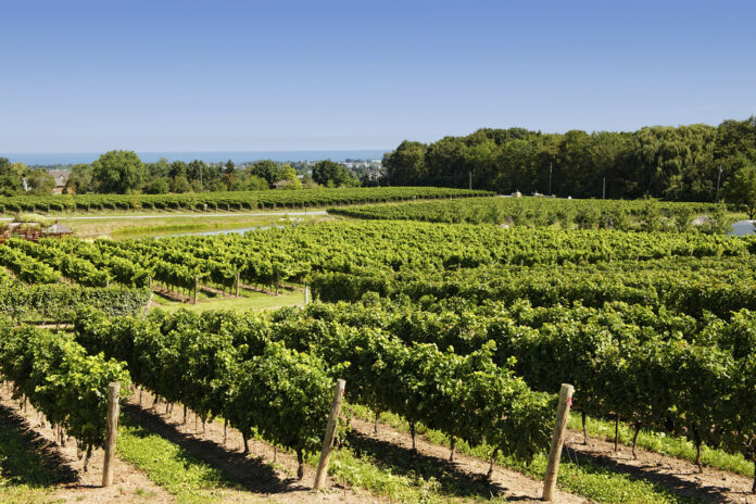 rows of green grape vines in a vineyard, the blue of Lake Ontario in the far distance